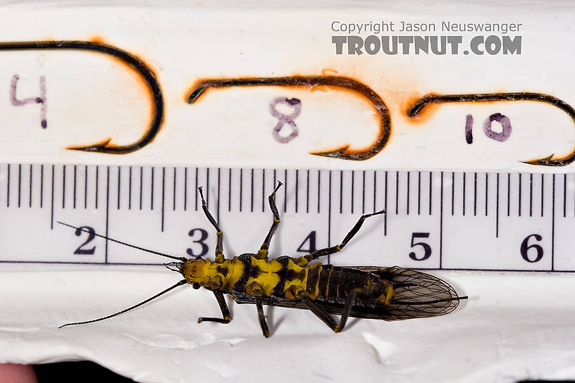 Female Helopicus subvarians (Springfly) Stonefly Adult from the West Branch of the Delaware River in New York