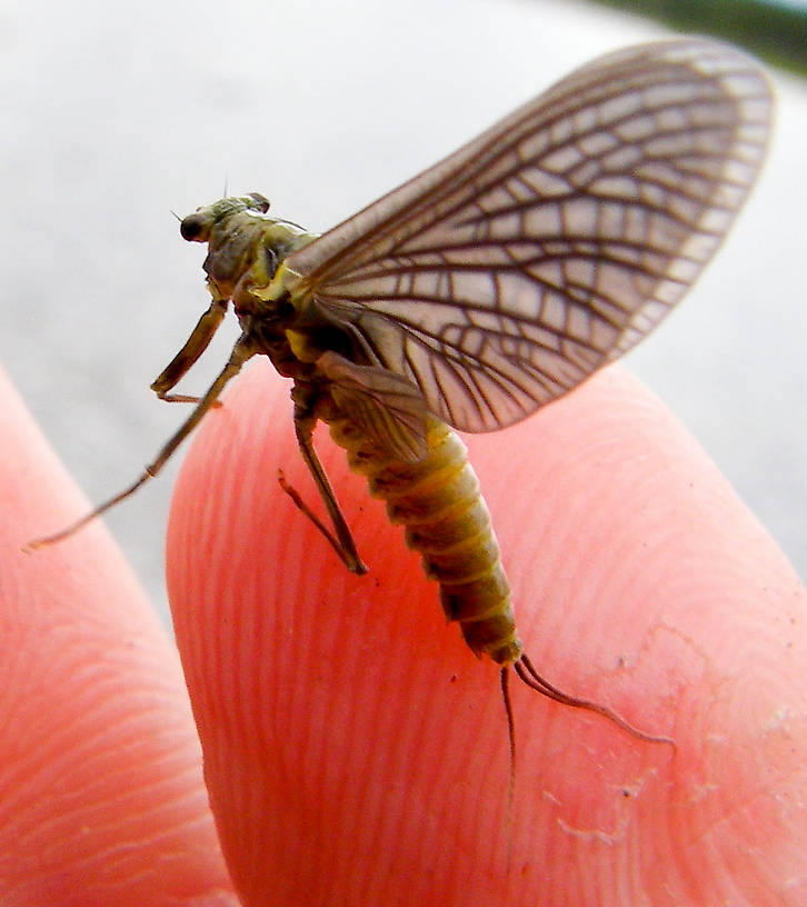 Female Drunella doddsii (Western Green Drake) Mayfly Dun from the Gulkana River in Alaska