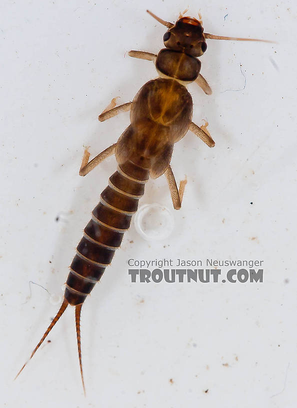 Chloroperlidae (Sallflies) Stonefly Nymph from the Chena River in Alaska