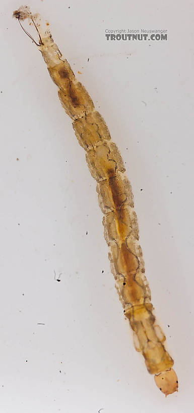 Chironomidae (Midges) Midge Larva from the Chena River in Alaska