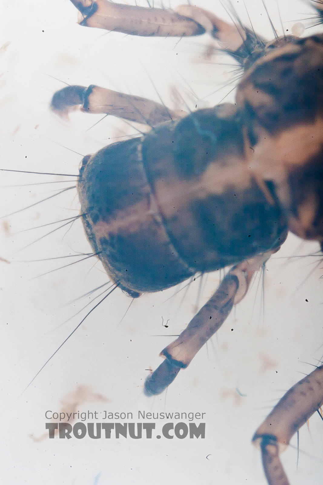 Onocosmoecus (Great Late-Summer Sedges) Caddisfly Larva from the Chena River in Alaska