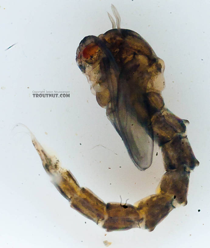 Culicidae (Mosquitoes) Mosquito Pupa from the Chena River in Alaska