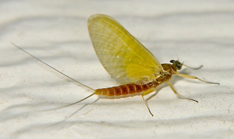 Female Cinygmula reticulata (Western Ginger Quill) Mayfly Dun from the Touchet River in Washington