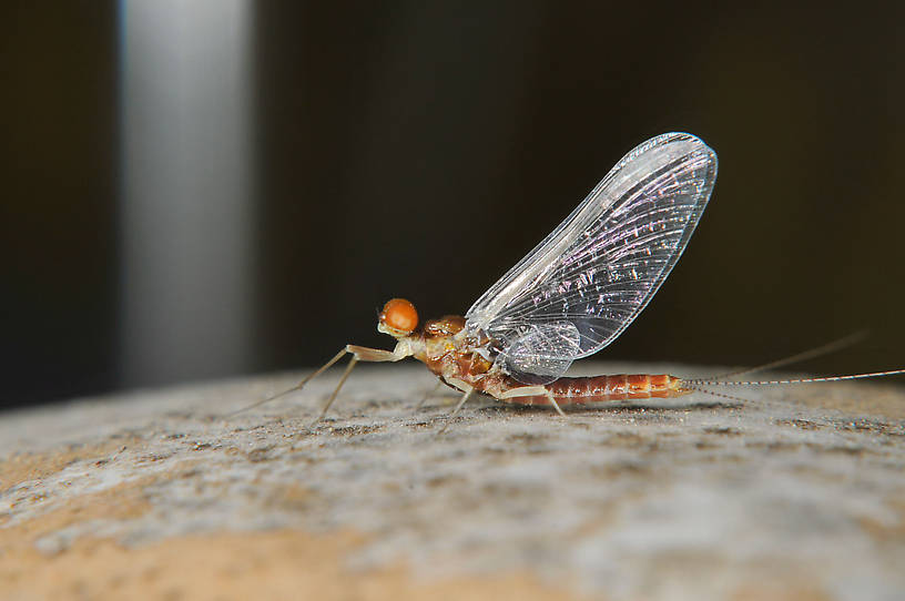 Male Ephemerella dorothea infrequens (Pale Morning Dun) Mayfly Spinner from the Touchet River in Washington