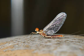 Male Ephemerella dorothea infrequens (Pale Morning Dun) Mayfly Spinner