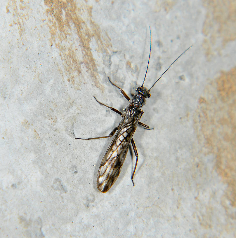 Female Zapada cinctipes (Tiny Winter Black) Stonefly Adult from the Touchet River in Washington