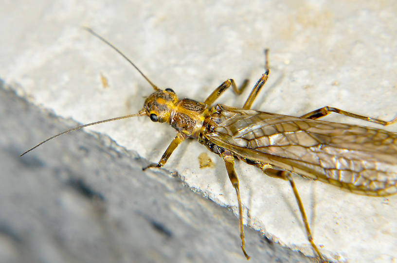 Megarcys subtruncata (Springfly) Stonefly Adult from the Touchet River in Washington