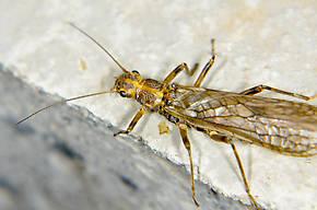 Megarcys subtruncata (Springfly) Stonefly Adult