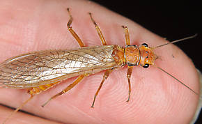 Female Hesperoperla pacifica (Golden Stone) Stonefly Adult