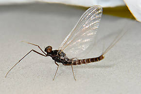 Male Neoleptophlebia heteronea (Blue Quill) Mayfly Spinner
