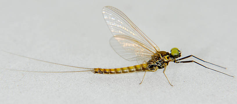Male Ameletus (Brown Duns) Mayfly Spinner from the Touchet River in Washington