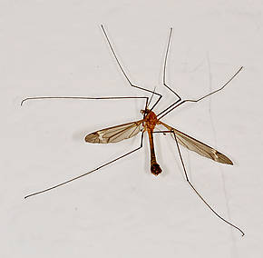 Tipulidae (Crane Flies) True Fly Adult