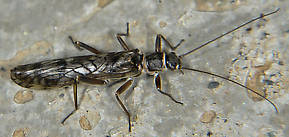 Male Doddsia occidentalis (Willowfly) Stonefly Adult