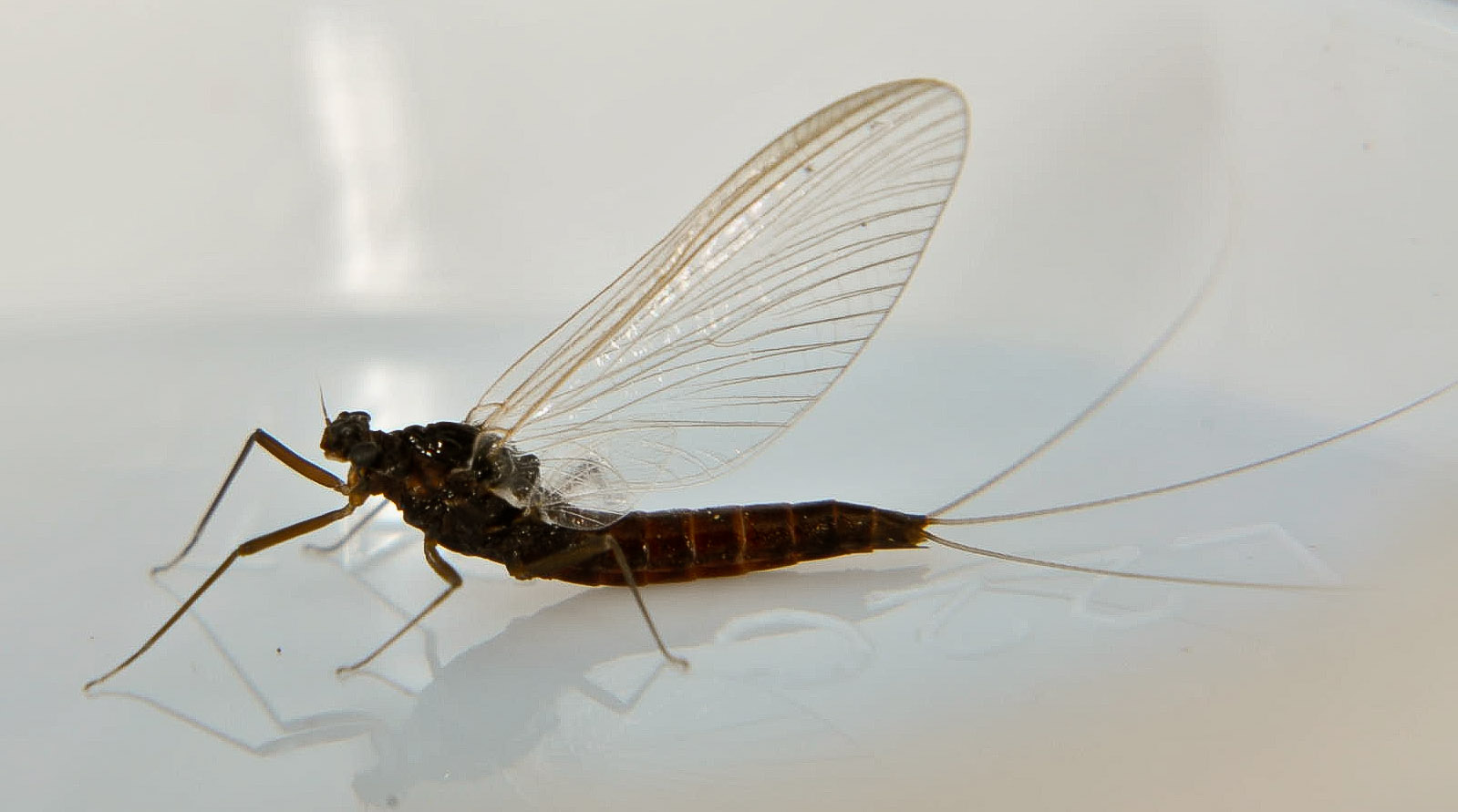Female Paraleptophlebia (Blue Quills and Mahogany Duns) Mayfly Adult from the Touchet River in Washington