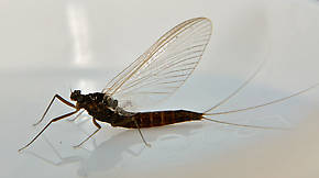 Female Paraleptophlebia (Blue Quills and Mahogany Duns) Mayfly Adult