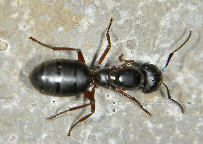 Formicidae (Ants) Ant Adult from the Touchet River in Washington