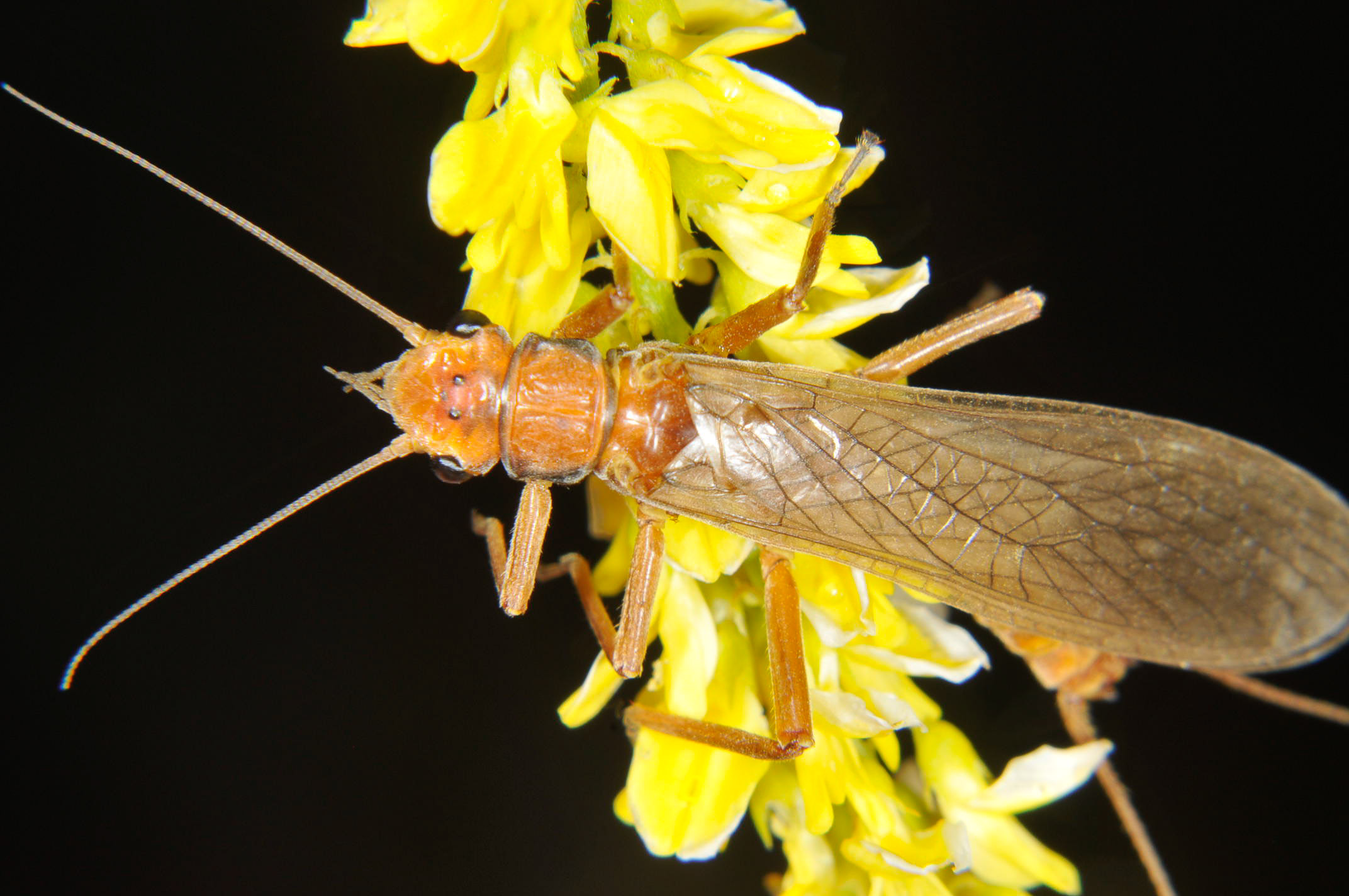 Male Hesperoperla pacifica (Golden Stone) Stonefly Adult from the Grande Rhonde River in Washington