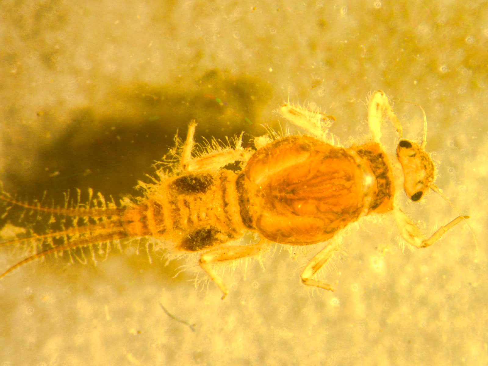 Tricorythodes (Tricos) Mayfly Larva from Willow Creek in Oregon