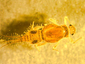 Tricorythodes (Tricos) Mayfly Larva