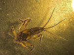 Drunella pelosa Mayfly Larva from Bowman Creek in Montana