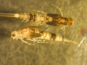 Anafroptilum conturbatum (Tiny Sulphur Dun) Mayfly Nymph
