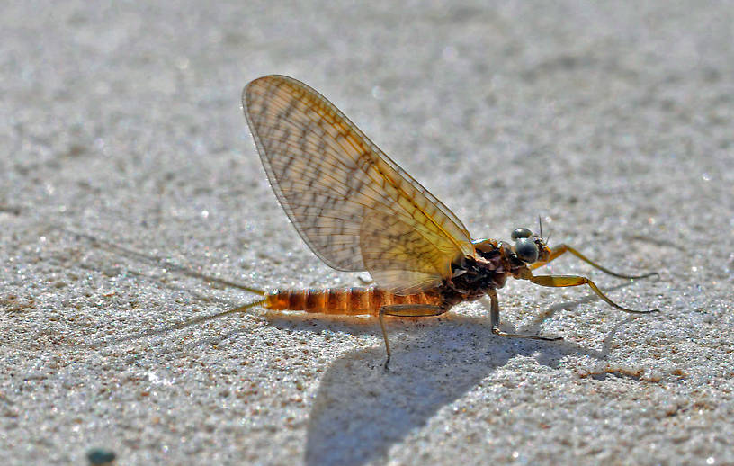 Rhithrogena Mayfly Dun from the Big Thompson River in Montana