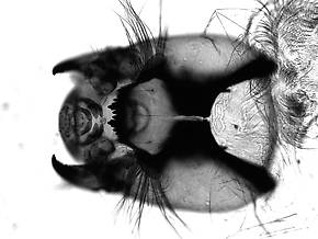 Prodiamesa  Midge Larva