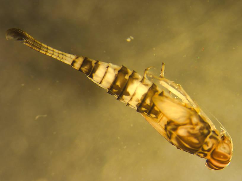 Procloeon pennulatum (Tiny Sulphur Dun) Mayfly Nymph from Murphy Lake in Montana