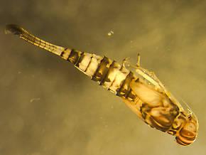 Procloeon pennulatum (Tiny Sulphur Dun) Mayfly Nymph