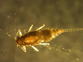 Caenis youngi (Angler's Curse) Mayfly Nymph
