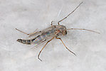 Chironomidae (Midges) Midge Adult from unknown in Montana