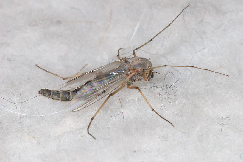 Chironomidae (Midges) Midge Adult from unknown in Montana
