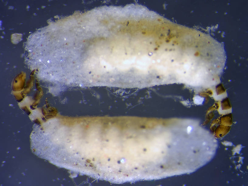 Hydroptila (Varicolored Microcaddisflies) Caddisfly Nymph from the Flathead River-Upper in Montana