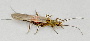 Isoperla fulva (Yellow Sally) Stonefly Adult