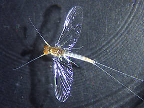 Male Baetis tricaudatus (Blue-Winged Olive) Mayfly Spinner
