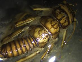 Claassenia sabulosa (Golden Stone) Stonefly Nymph