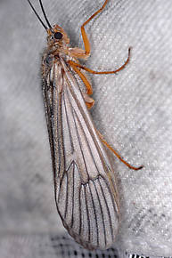 Dicosmoecus gilvipes (October Caddis) Caddisfly Adult