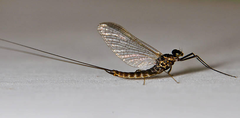 Male Rhithrogena morrisoni (Western March Brown) Mayfly Adult from the Touchet River in Washington