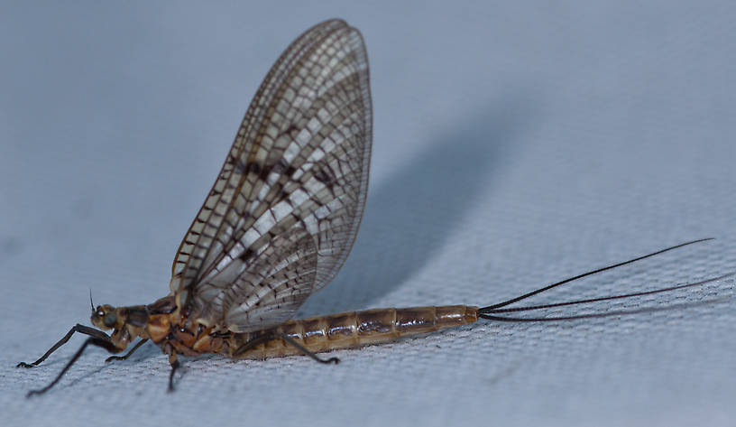 Male Ephemera simulans (Brown Drake) Mayfly Dun from Flathead Lake in Montana