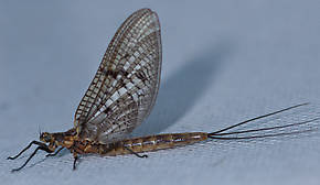 Male Ephemera simulans (Brown Drake) Mayfly Dun