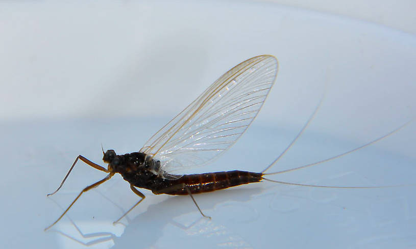 Female Paraleptophlebia (Blue Quills and Mahogany Duns) Mayfly Spinner from the Touchet River in Washington