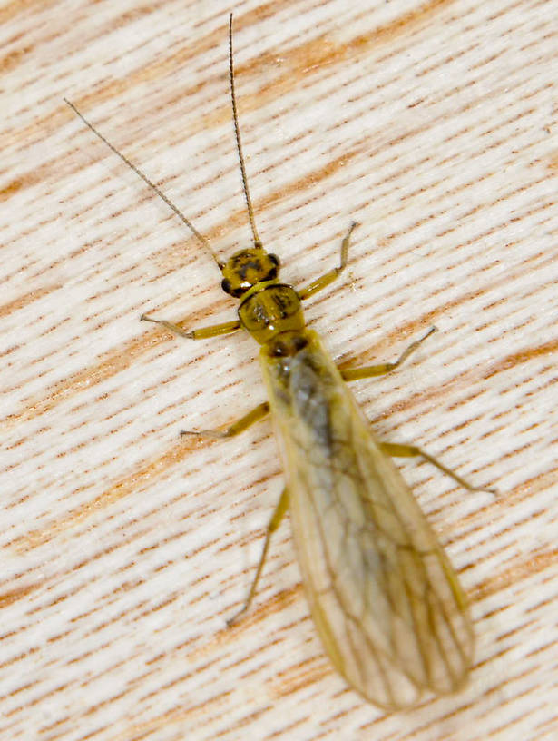 Sweltsa borealis (Sallfly) Stonefly Adult from the Touchet River in Washington