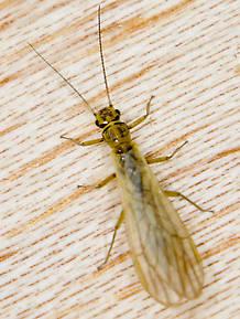 Sweltsa borealis (Sallfly) Stonefly Adult