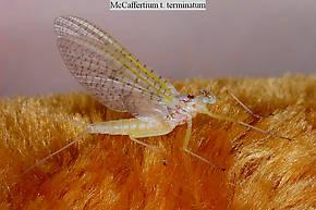 Female Maccaffertium terminatum  Mayfly Dun