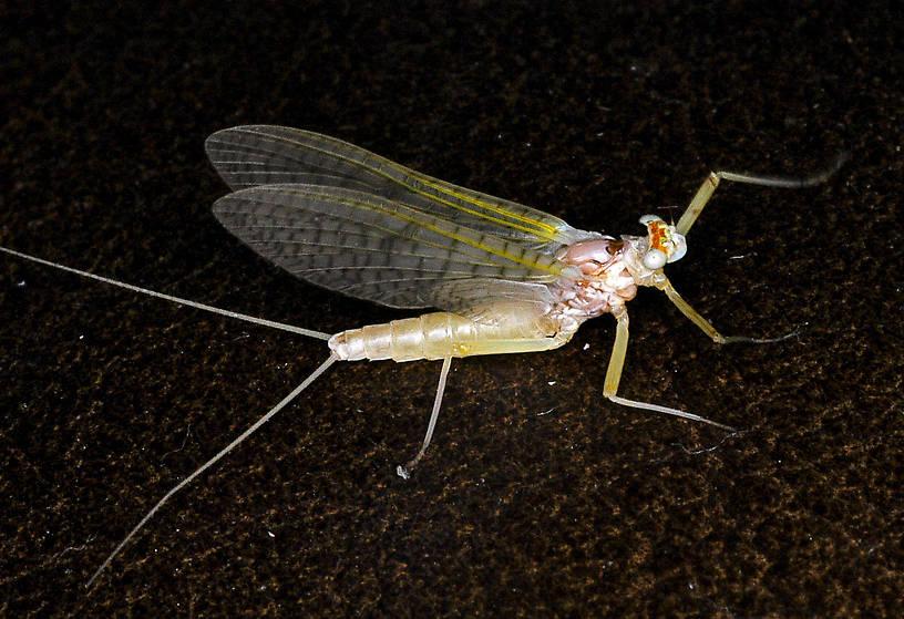 Female Maccaffertium terminatum Mayfly Dun from the Flathead River-Lower in Montana