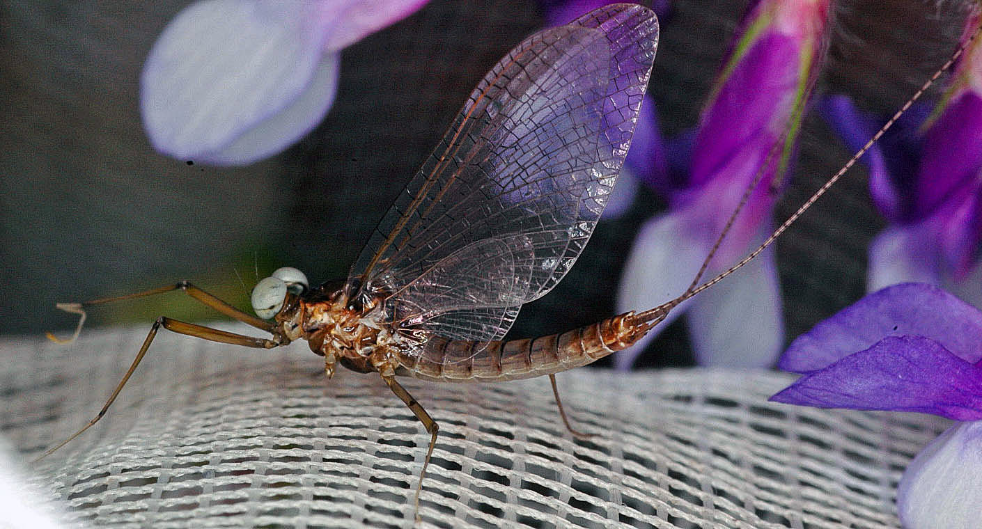 Male Heptagenia solitaria (Ginger Quill) Mayfly Spinner from the Flathead River-Lower in Montana
