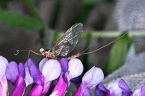 Male Heptagenia solitaria (Ginger Quill) Mayfly Spinner