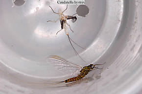 Male Caudatella hystrix  Mayfly Spinner