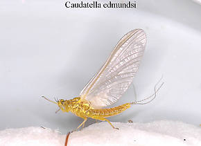 Female Caudatella edmundsi  Mayfly Dun