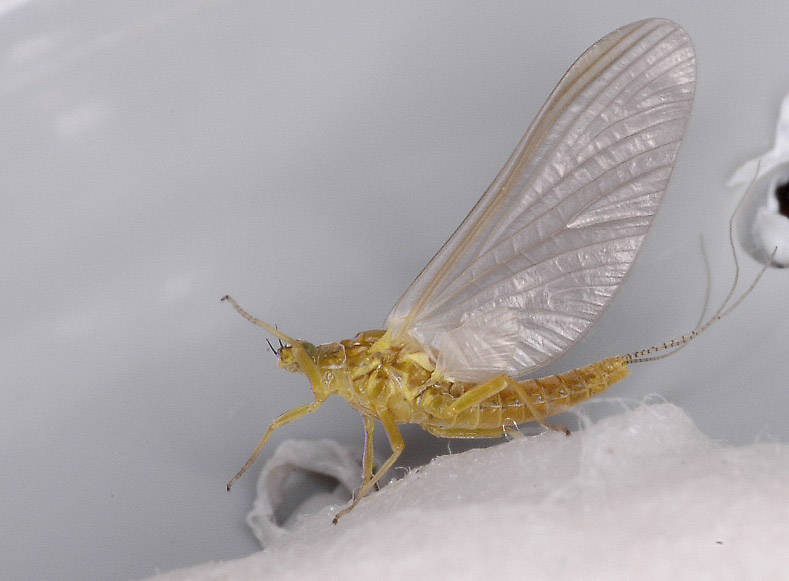 Female Caudatella edmundsi Mayfly Dun from the Vermillion River in Montana